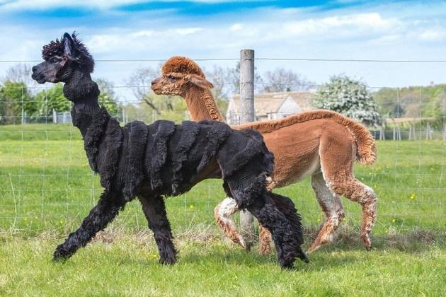 Альпак перетворили на пуделів, динозаврів та зебр
